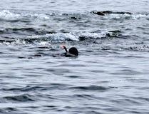 Le plongeur dans le vêtement isothermique et dans le masque flotte sur la surface Photo stock