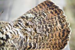 Le plumage est un grand plan rapproché de grouse Image stock