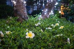 Le plumeria blanc tombé sur l'herbe verte contre le pied de l'arbre avec éclairent la LED la nuit Images stock