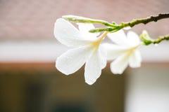 Le Plumeria fleurit pluvieux Images libres de droits