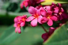 Le plumeria rose exotique fleurit sur l'arbre en parc photos libres de droits