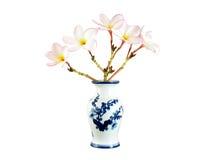 Le plumeria rose fleurit dans le vase chinois à porcelaine d'isolement sur le fond blanc Photographie stock libre de droits