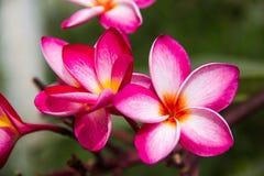 Le Plumeria rouge fleurit la beauté en nature, fleur de frangipani image libre de droits