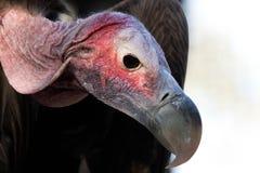 Le plumetis a fait face au vautour Photographie stock libre de droits