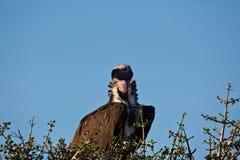 Le plumetis a fait face au vautour Images stock