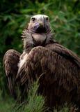 Le plumetis a fait face au vautour Photo stock