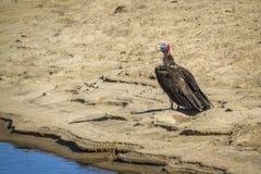 Le plumetis a fait face au vautour en parc national de Kruger, Afrique du Sud photos libres de droits