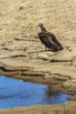 Le plumetis a fait face au vautour en parc national de Kruger, Afrique du Sud image stock