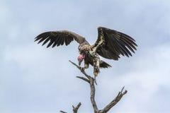 Le plumetis a fait face au vautour en parc national de Kruger, Afrique du Sud photos stock