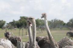 Le plus grand des oiseaux dans le monde Photographie stock libre de droits