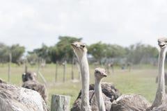 Le plus grand des oiseaux dans le monde Photo libre de droits