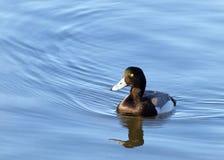 Le plus grand fuligule milouinin masculin dans l'élevage colore la natation sur l'eau calme Photo libre de droits
