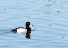 Le plus grand fuligule milouinin masculin dans l'élevage colore la natation sur l'eau calme Photos libres de droits