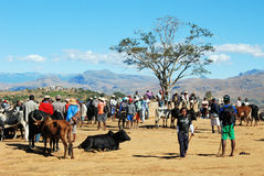 Le plus grand marché de zébu au Madagascar images libres de droits