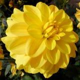 Le plus jaune Image libre de droits