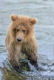 Le plus jeune de 3 jeux grisâtres de petits animaux dans l'eau tandis que sa mère attrape des saumons - ruisseau tombe - l'Alaska Images stock