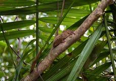 Le plus petit bohol de Philippines de singe de Tarsier photo stock