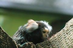 Le plus petit singe dans la photo du monde prise le 19 mars 2010 images libres de droits