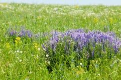 Le pois fourrager fleurit la souris Fleurs de becs d'ancre doux Pois doux Photographie stock