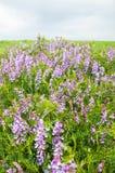 Le pois fourrager fleurit la souris Fleurs de becs d'ancre doux Pois doux Images stock