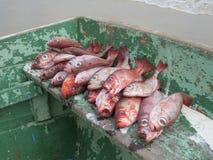 Le poisson avec le grand rouge observe le bateau vert Photos stock