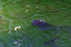 Le poisson-chat de poissons et l'ide vivent dans les étangs pour refroidir Chernobyl Photographie stock libre de droits