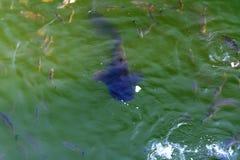 Le poisson-chat de poissons et l'ide vivent dans les étangs pour refroidir Chernobyl Images libres de droits