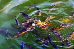 Le poisson-chat de poissons et l'ide vivent dans les étangs pour refroidir Chernobyl Image libre de droits
