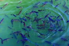 Le poisson-chat de poissons et l'ide vivent dans les étangs pour refroidir Chernobyl Photographie stock