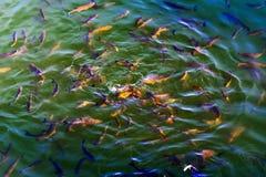 Le poisson-chat de poissons et l'ide vivent dans les étangs pour refroidir Chernobyl Images stock