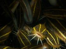 Le poisson-chat rayé d'anguille fait face à 01 Image stock