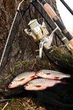 Le poisson d'eau douce contagieux et les cannes à pêche avec la pêche tournoient Images stock