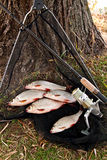 Le poisson d'eau douce contagieux et les cannes à pêche avec la pêche tournoient Photos libres de droits