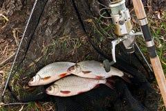 Le poisson d'eau douce contagieux et les cannes à pêche avec la pêche tournoient Image libre de droits