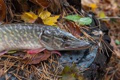 Le poisson d'eau douce de brochet se trouve sur un chanvre en bois Photographie stock
