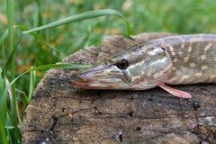 Le poisson d'eau douce de brochet se trouve sur un chanvre en bois Photographie stock libre de droits