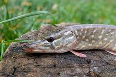 Le poisson d'eau douce de brochet se trouve sur un chanvre en bois Images libres de droits