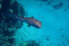 Le poisson de hérisson nage en mer bleue Photo stock