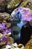 Le poisson de mâchoire nage hors du trou photographie stock