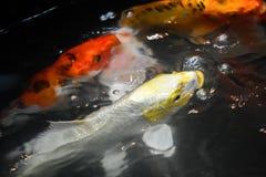 Le poisson de merde nage dans les puits Photos libres de droits
