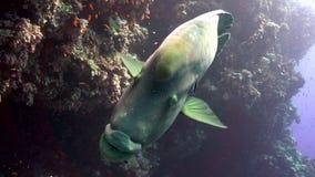 Le poisson de napoléon sur le récif de Yolanta est frendly et pas très timide banque de vidéos