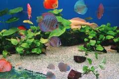 Le poisson flotte dans l'aquarium Photographie stock