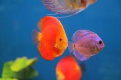 Le poisson flotte dans l'aquarium Image stock