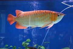 Le poisson flotte dans l'aquarium Images stock