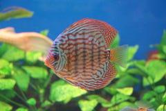 Le poisson flotte dans l'aquarium Images libres de droits