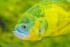Le poisson mignon d'oscar (ocellatus d'Astronotus) est des espèces des poissons de Image libre de droits
