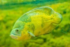 Le poisson mignon d'oscar (ocellatus d'Astronotus) est des espèces des poissons de Image stock