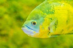 Le poisson mignon d'oscar (ocellatus d'Astronotus) est des espèces des poissons de Images libres de droits