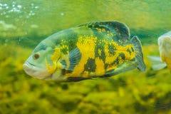 Le poisson mignon d'oscar (ocellatus d'Astronotus) est des espèces des poissons de Images stock