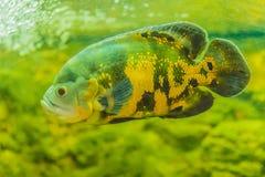 Le poisson mignon d'oscar (ocellatus d'Astronotus) est des espèces des poissons de Photo libre de droits